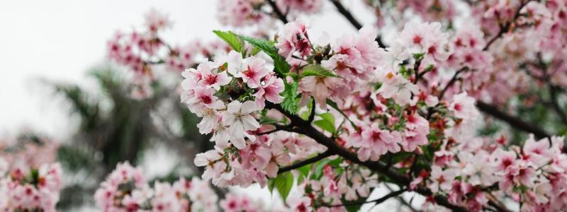 Cherry Blossom Festival Macon Georgia