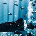 How to Dive with Georgia Aquarium Whale Sharks